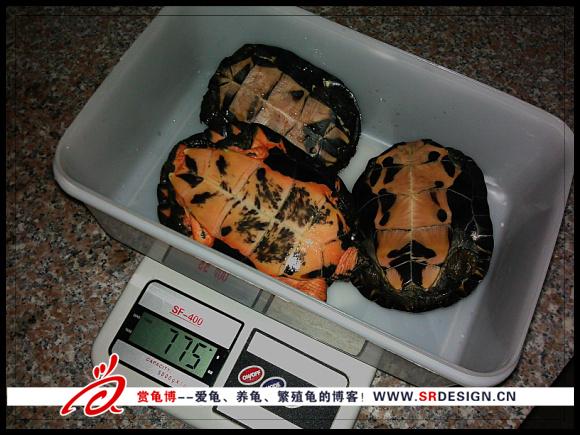 乌龟冬眠前的检查工作