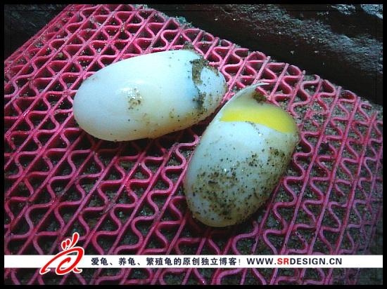 石金钱龟蛋