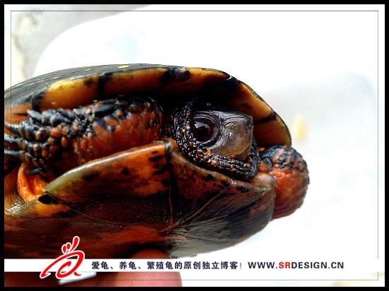乌龟白眼病治疗