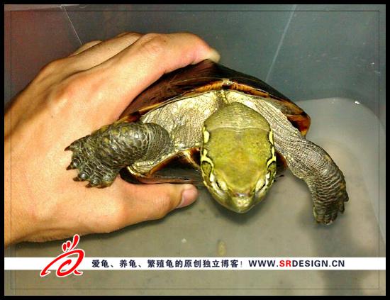 肠胃炎的乌龟