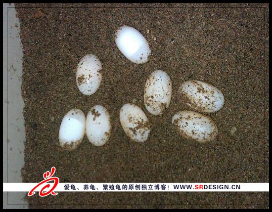 区别受精与不受精的乌龟蛋