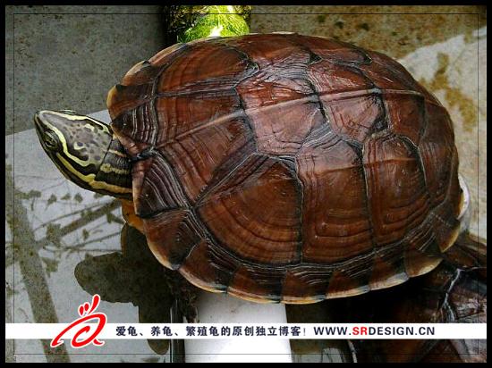 越南国宝,安南龟