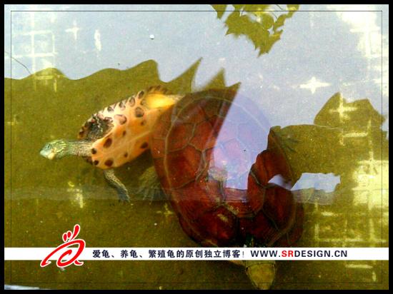 腊戌龟交配