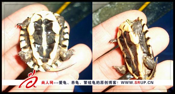龟苗软壳病