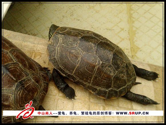 中华草龟晒太阳