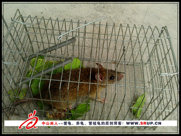 养龟场所里捉的老鼠
