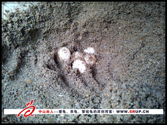 2013年第一窝乌龟蛋