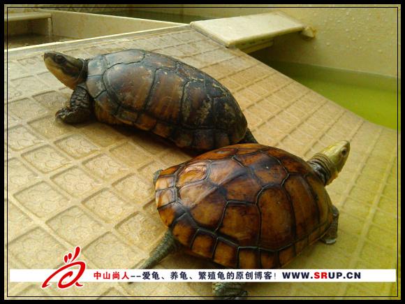 黄喉拟水龟种龟