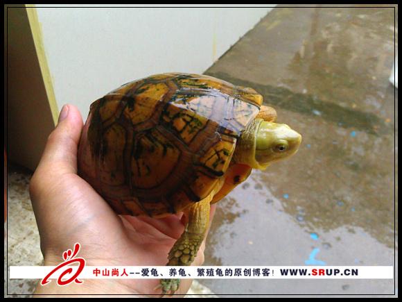 2010年的黄喉拟水龟苗