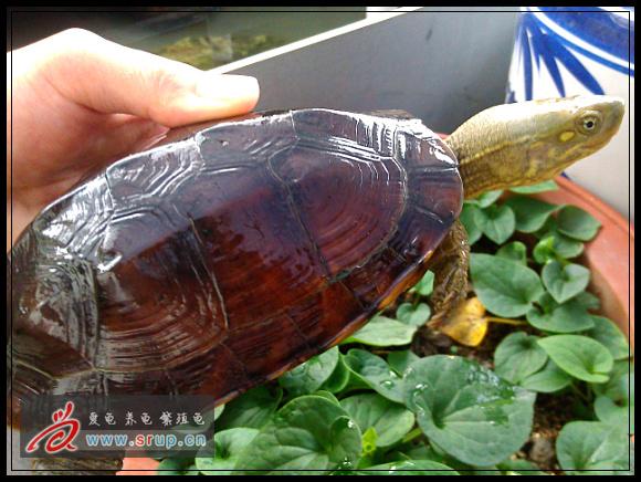 腊戌拟水龟