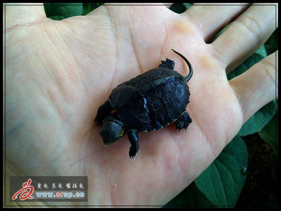 龟类的杂交