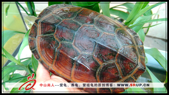 吃龟粮的母腊戌