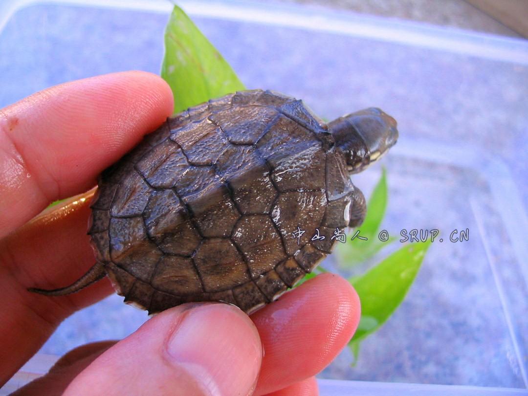 金龟杂交龟苗